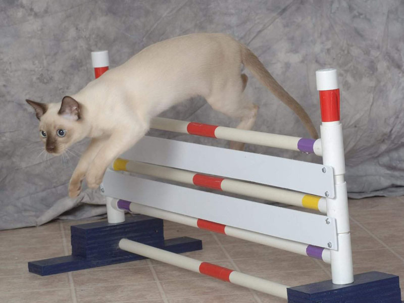 Дрессировка кошек у себя дома