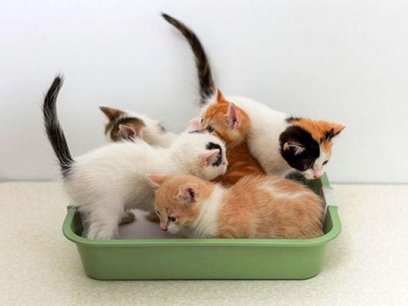 Приучаем котенка к лотку в квартире