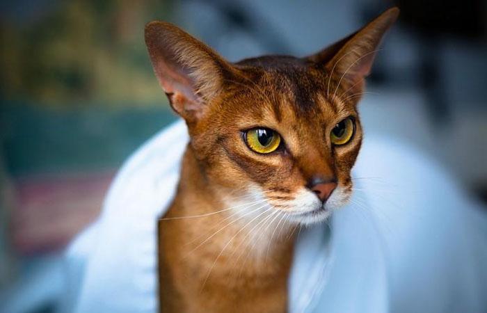 Понятия дрессировки и характер кошки