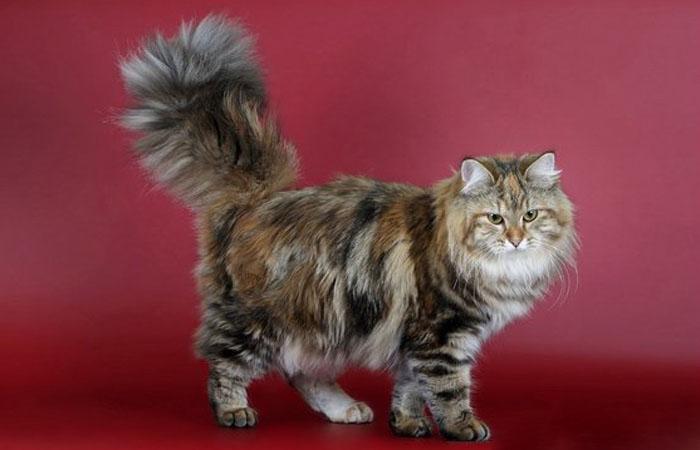 Черепаховый окрас сибирской кошки