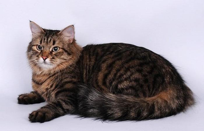 Тигровый окрас сибирской кошки