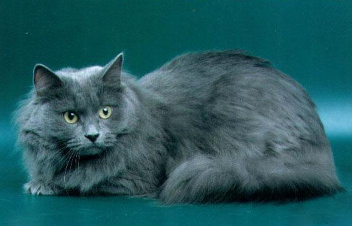 Голубой окрас сибирской кошки