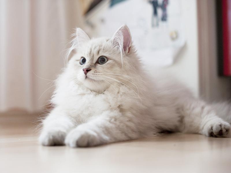 Порода сибирской кошки и окорасы