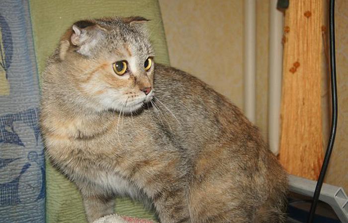 Вислоухая сибирская кошечка интересного окраса