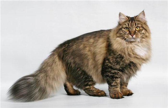 Эта кошка очень похожа на немецкую овчарку