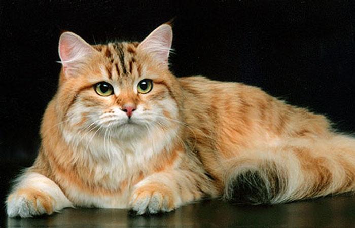 Золотистая сибирская кошка