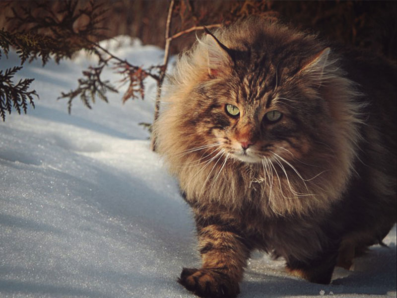 С хищным взглядом норвежская лесная бежит к хозяину