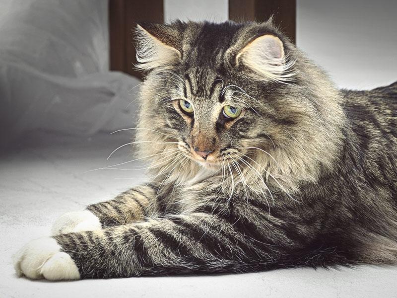 Норвежская кошка с очень милой мордочкой