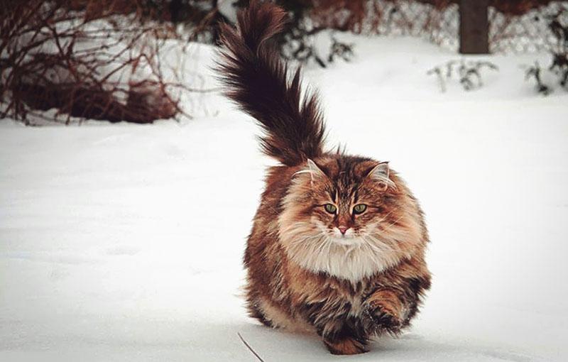 Очень пушистая норвежская бежит по снегу