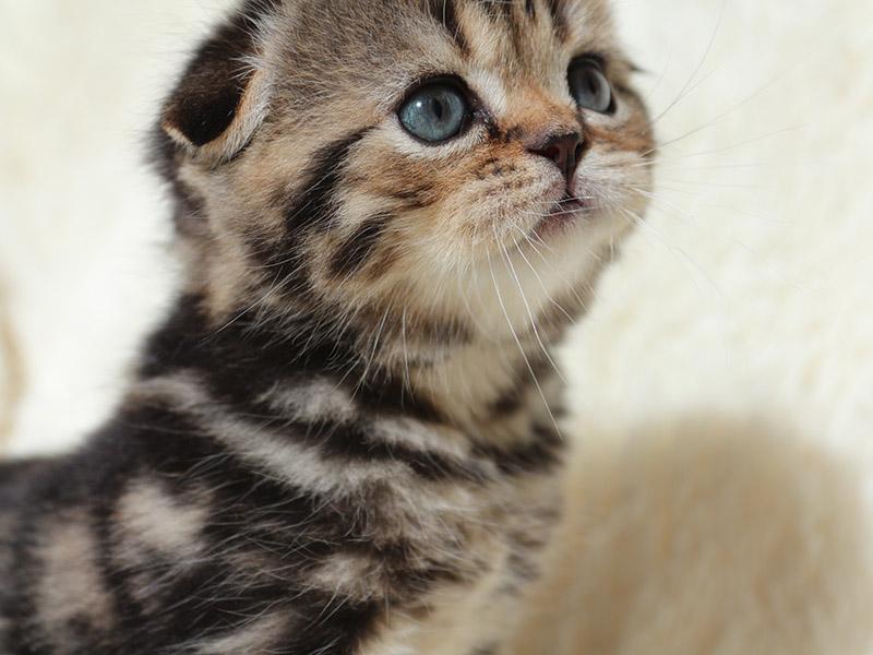 Первые дни жизни шотландского котенка