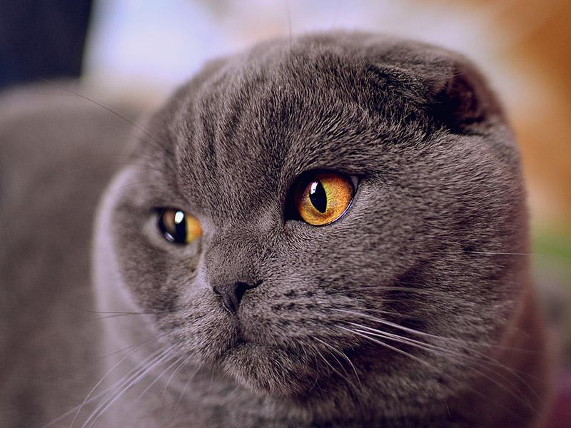 Шотландский вислоухий кот с оранжевыми глазами
