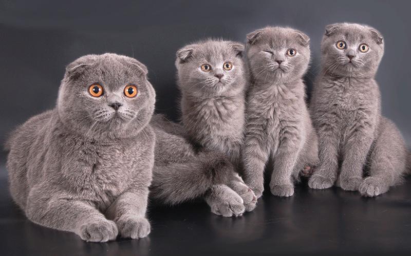 Взрослые котята вислоухого шотландца