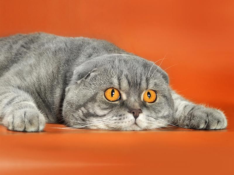 Шотландский кот на оранжевом фоне завалился и лежит