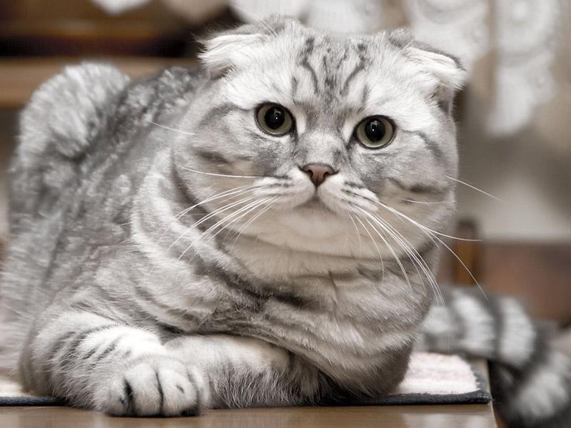 Дымчатый шотландский вислоухий кот