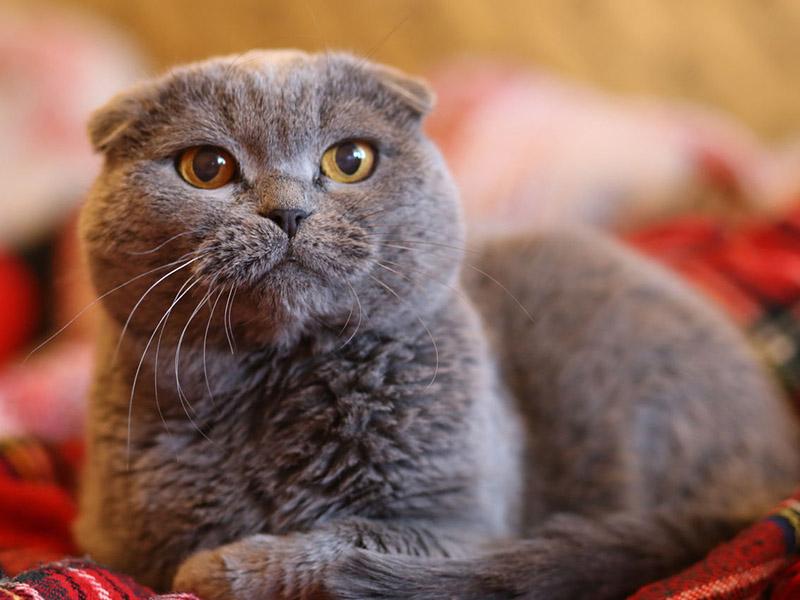 Красивый шотландский вислоухий кот