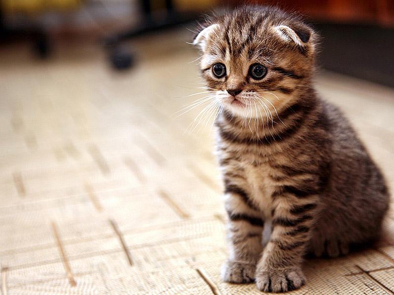 Правильное питание для шотландского котенка
