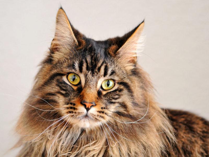 Очень красивые кошки Мейн кун