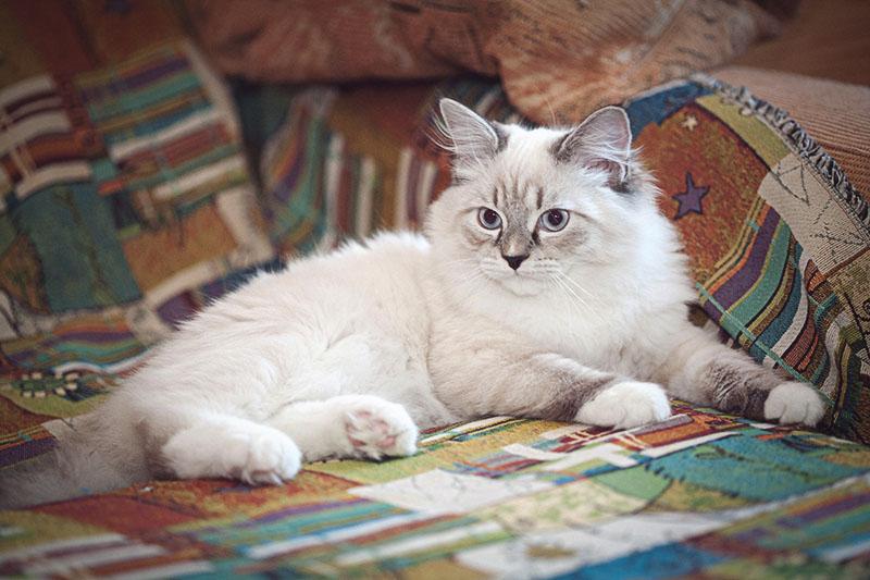 В домашней обстановке эта кошка настоящий друг