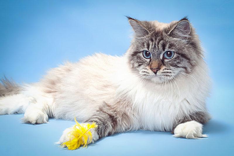 У маскарадной кошки что то между лапок желтенькое