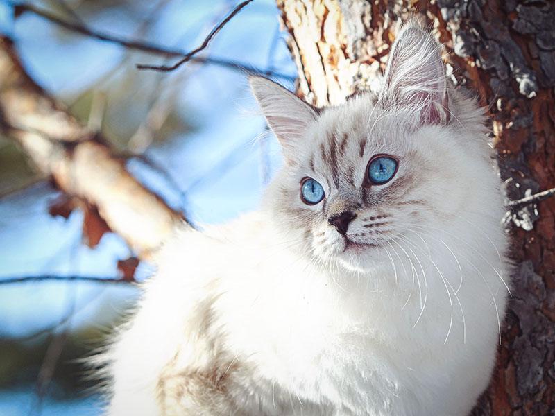 Красивая невская маскарадная кошка сидит на дереве