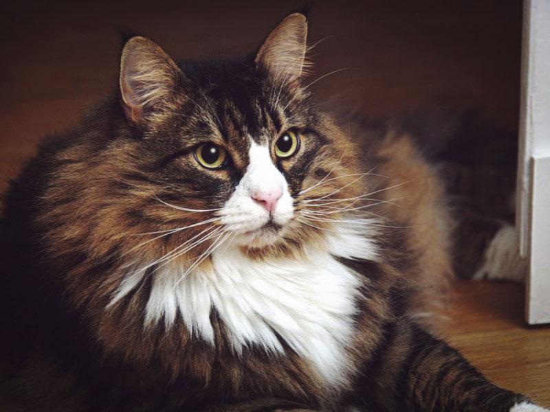 Грациозная норвежская кошка