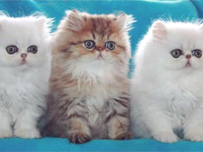 Котята персидской кошки три штуки очень красивые