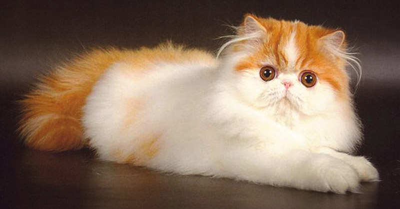 Красивая персидская кошка лежит себе полеживает