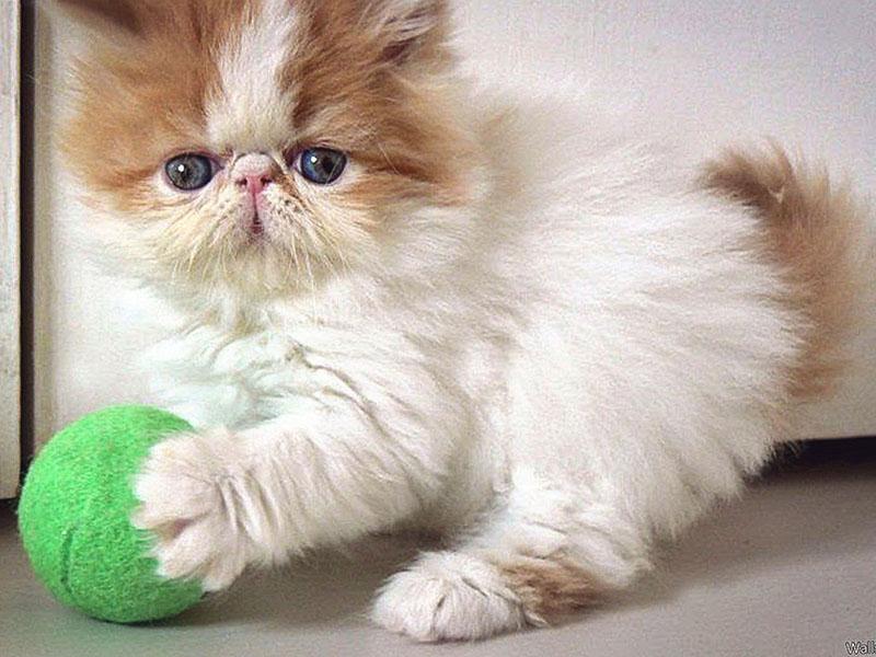 Персидский котенок играет с мячиком