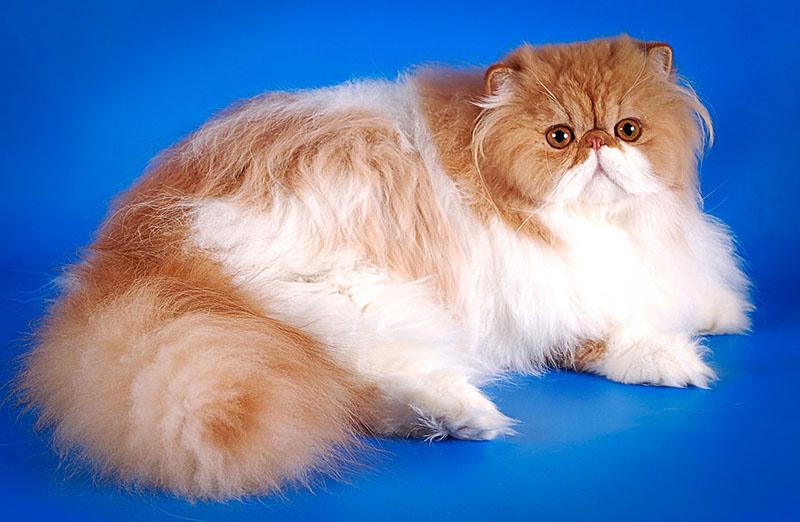 Бело рыжий персидский кот колор поинт