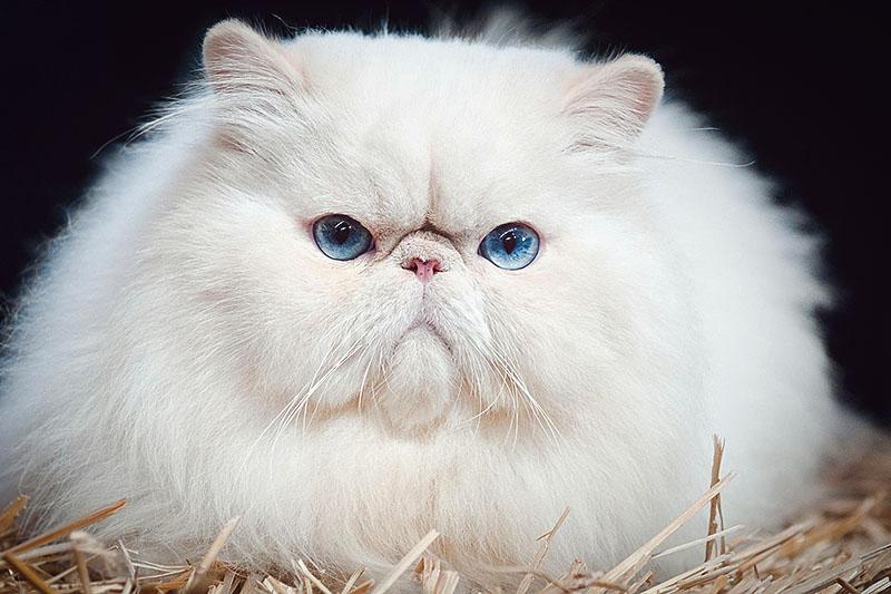 Очень характерная персидская кошка