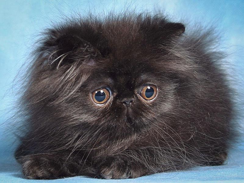 Плюшевая персидская кошка черного цвета
