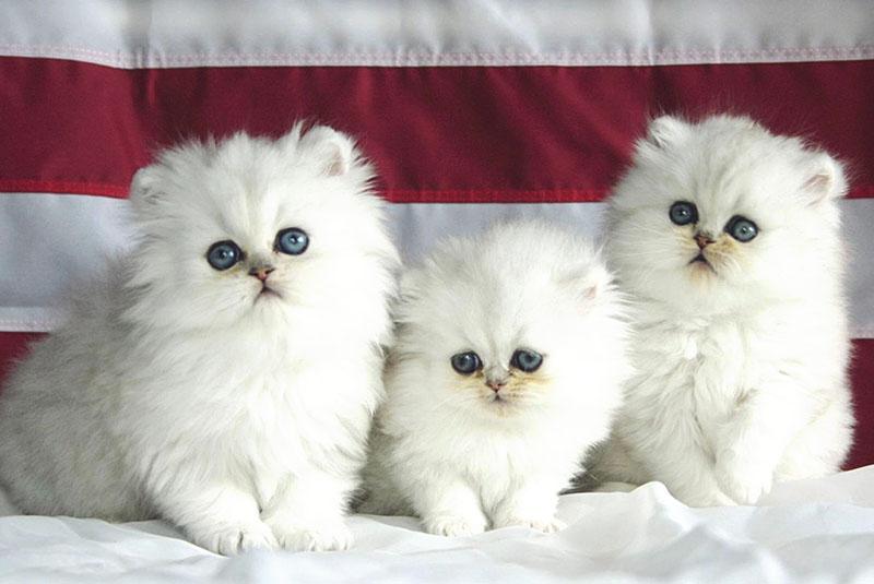Как выглядит персидский кот