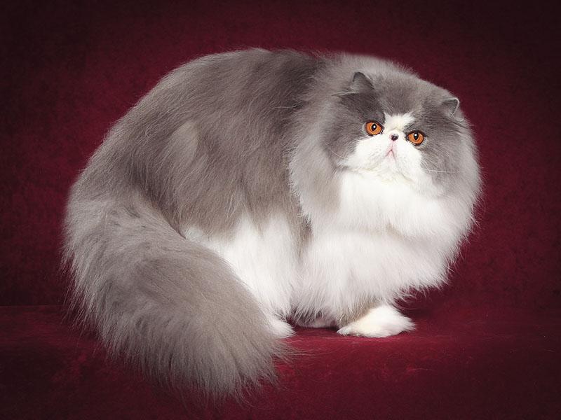 Здоровый и пушистый персидский кот в фотостудии