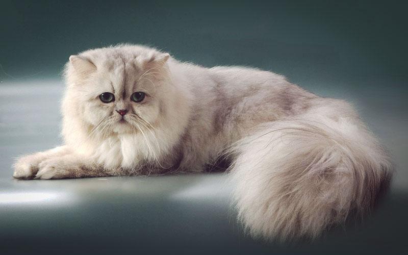 Дымчатая кошка персидской породы позирует на камеру