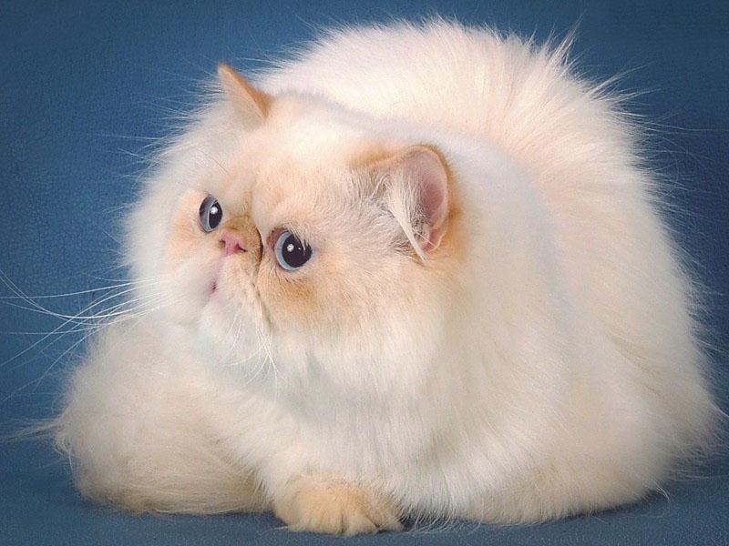 Красота персидской кошки и ее характер