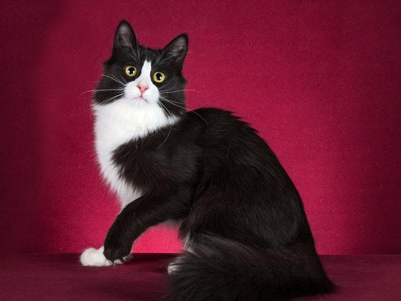 Черно-белая ангорская кошка биколор