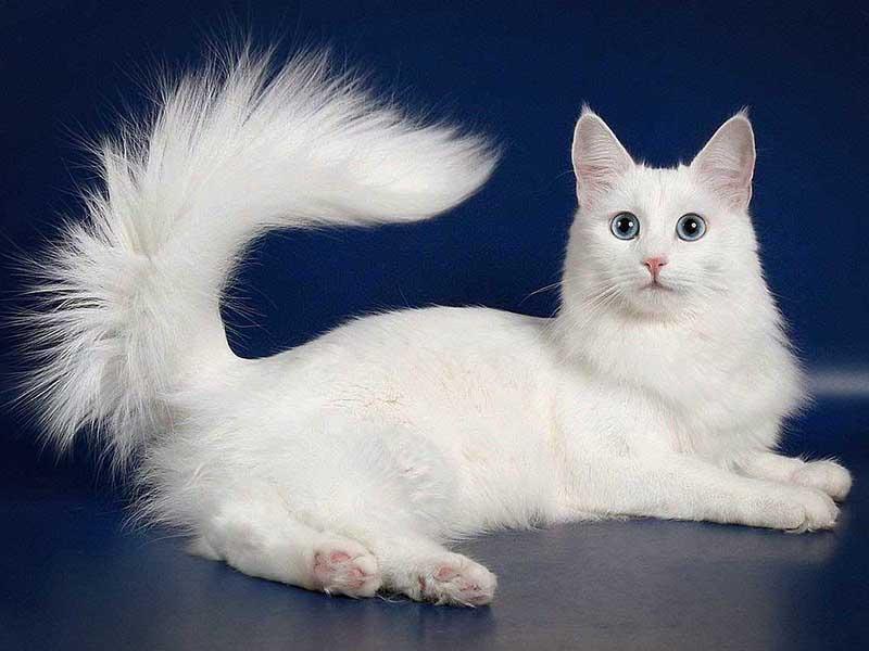 Нужно соблюдать рацион ангорской кошки