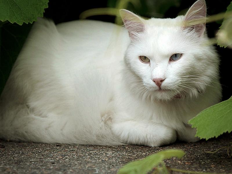Ангрские кошки очень характерные