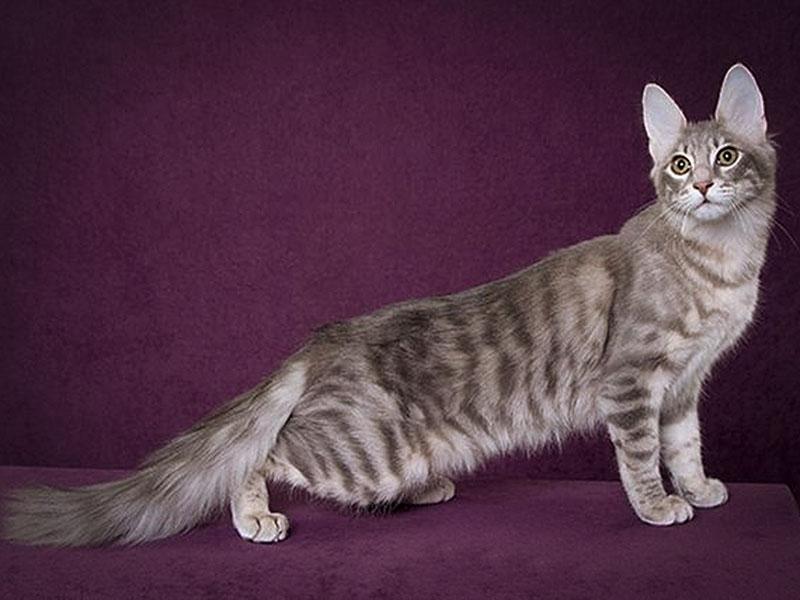 Очень длинная характерная ангорская кошка