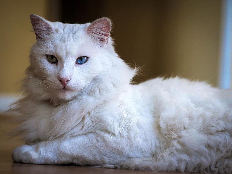 Кошки этой породы очень привередливы к еде