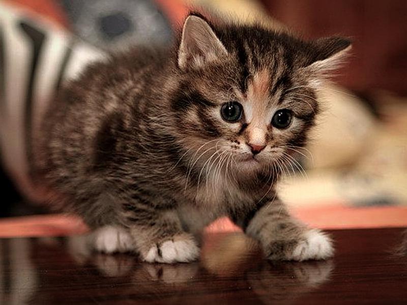 Котенка нельзя кастрировать ни в коем случае