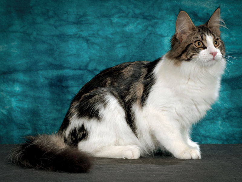 Окрас биколор ангорской кошки