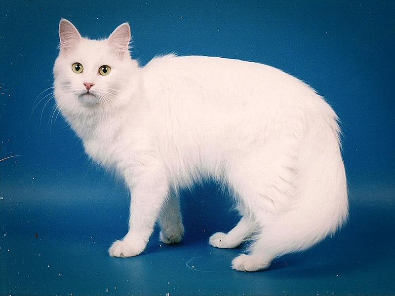 Красивая белоснежная ангорская кошка