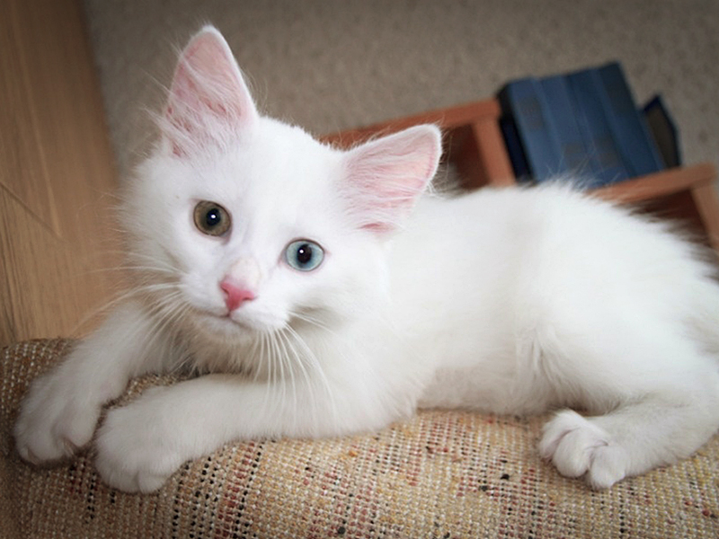 Ангорские кошки очень любят подвижные игры