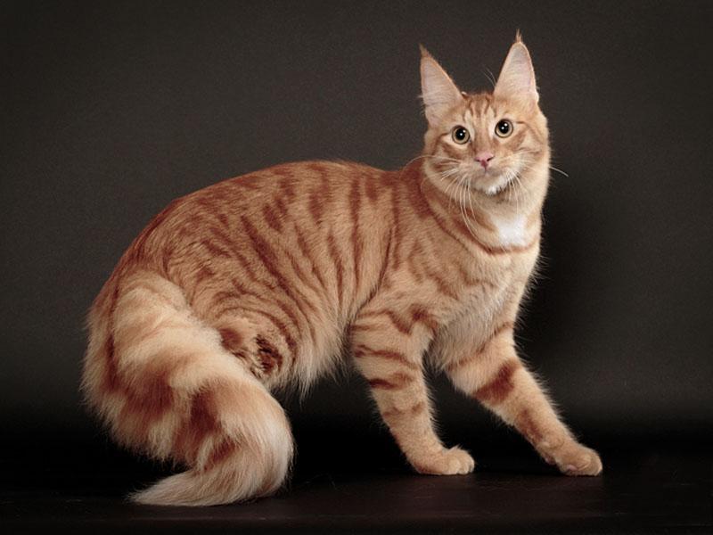 Рыжий окрас ангорской кошки