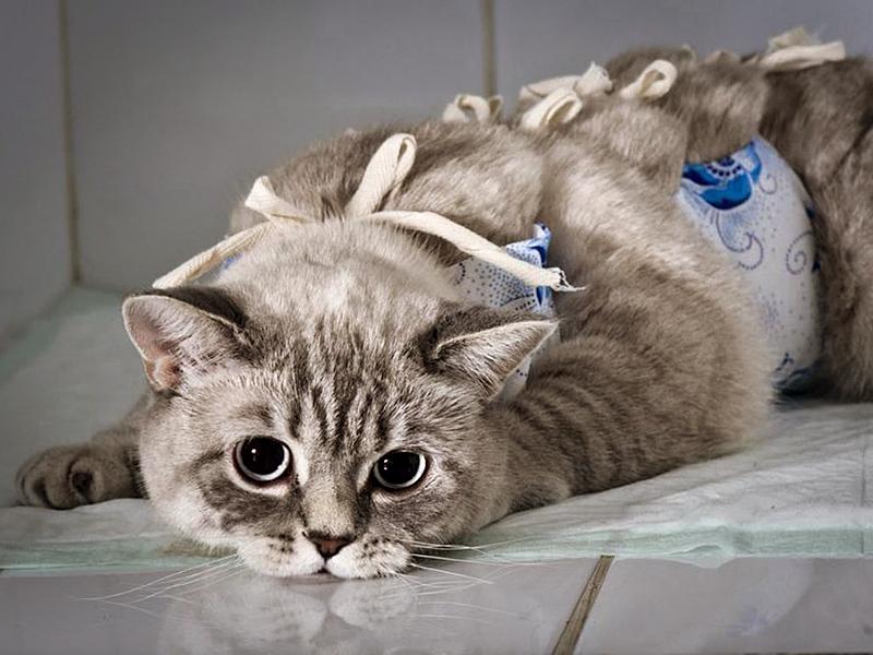 Стерилизация необходима кошкам