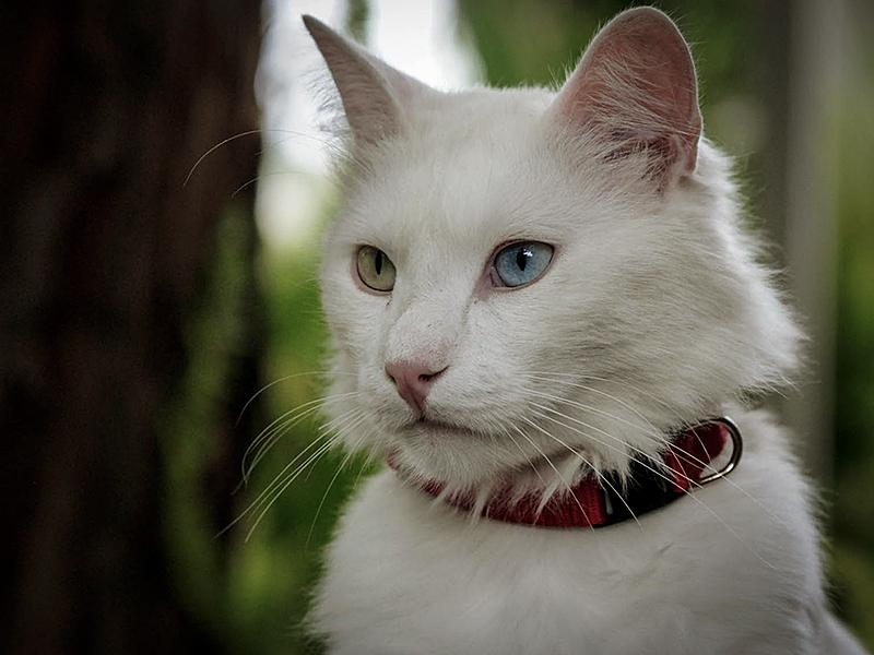 Турецкая белая ангора