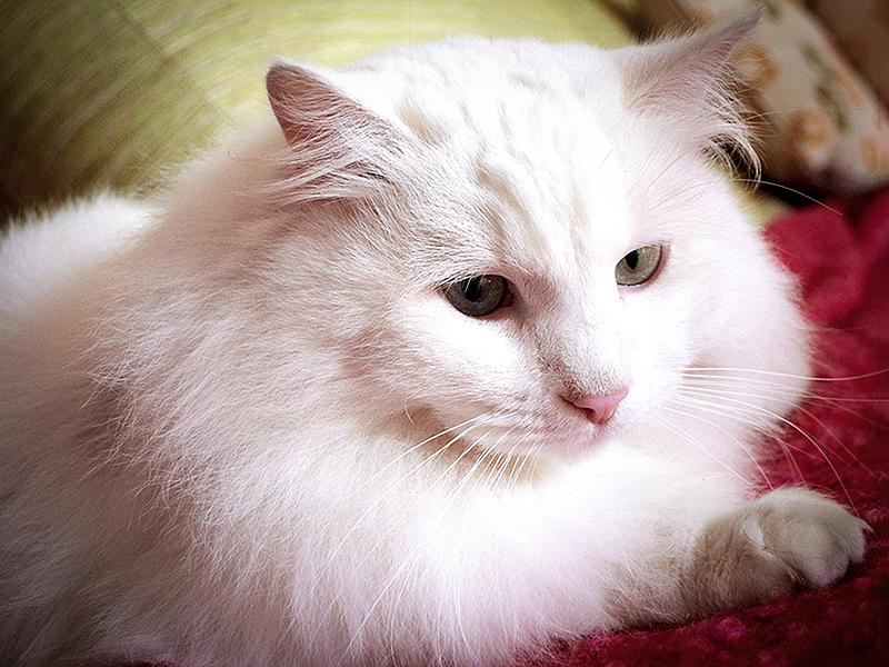 За ангорской кошкой нужно правильно ухаживать