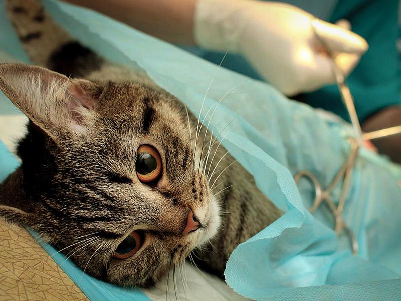 Необходимо кастрировать котов чтобы облегчить им жизнь