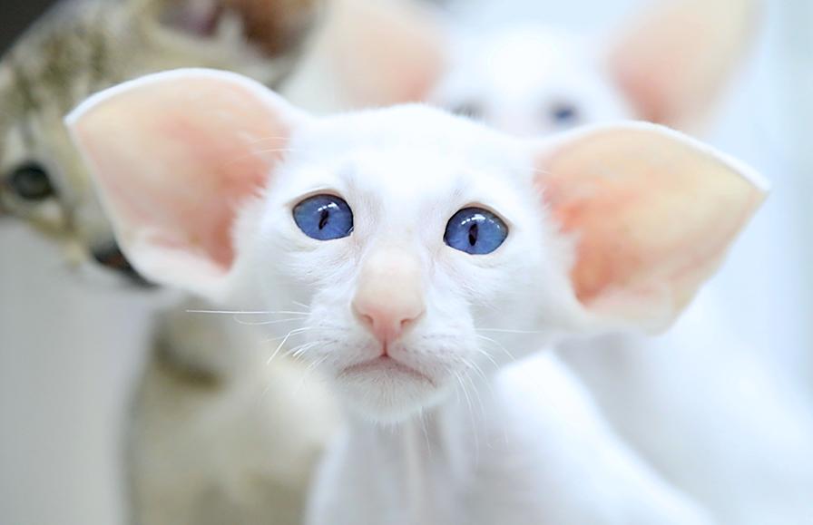 Белый ориентал с голубыми глазами